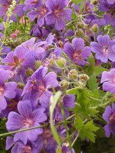 Geranium Essential Oil Anayennisi Aromatics Reference Guide