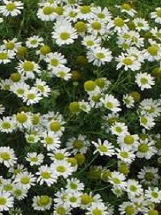 Chamomile Essential Oil Anayennisi Aromatics Reference Guide