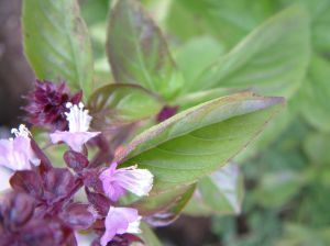 Basil essential oils -Flowering bush of basil.Anayennisi Aromatics