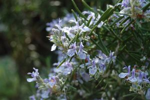 Rosemary essential oil - Flowering rosemary- Anayennisi Aromatics