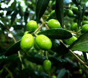 Olive oil benefits - Uses for Olive Oil