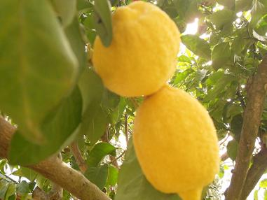 Anayennisi Aromatics Lemon Facts and the Benefits of lemons.