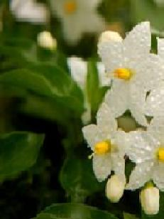 Jasmine Essential Oil Anayennisi Aromatics Reference Guide