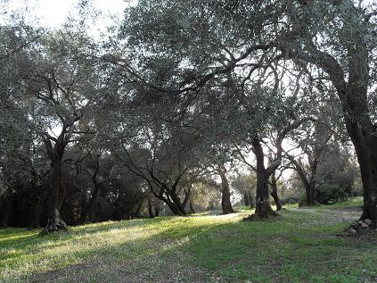 A walk through the olive groves - Anayennisi Aromatics