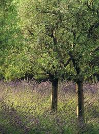 Olive tree and lavender - Anayennisi Aromatics home page