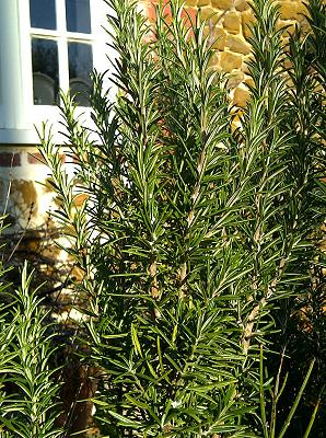 Rosemary Herb - Aromatherapy Essential oils Guide