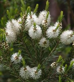 Tea Tree Oil Uses - All about Tea Tree Oil and Tea Tree Oil Recipes