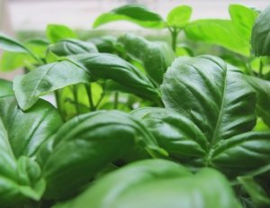 Basil pesto recipe - basil essential oils- Anayennisi Aromatics