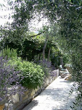 Olive trees and lavender -Anayennisi Aromatics