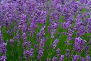 Anayennisoi Aromatics Essential Oil Guide-Lavender