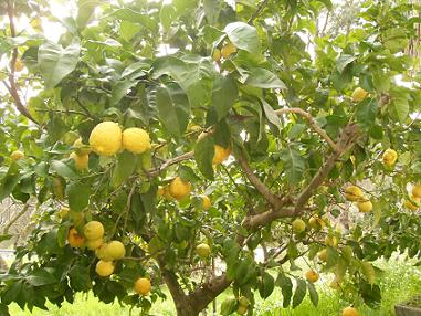 Anayennisi Aromatics.Lemon facts and benefits of lemon,Lemon Essential Oil.