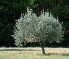olive oil benefits Anayennisi Aromatics
