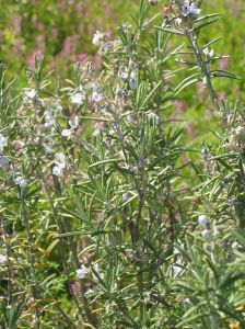 Rosemary essential oil - Rosemary flowers-Anayennisi Aromatics